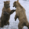 Bear Fight picture